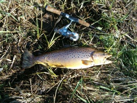 - U.L.-stangens første trofæ-fisk: Lækker vild Bækørred på ca. halvandet kilo og 54,0 cm
