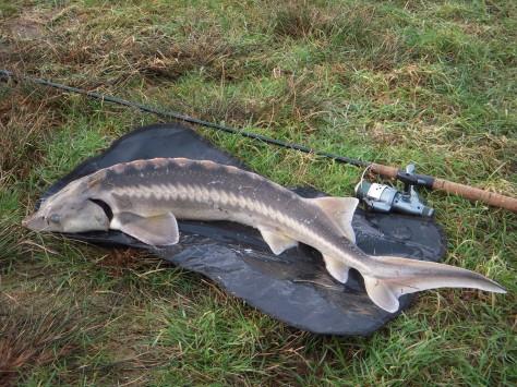 - BelugaStør, 102,0cm/6000gram, Nees/2014. En fisk som udviste enorm råstyrke.
