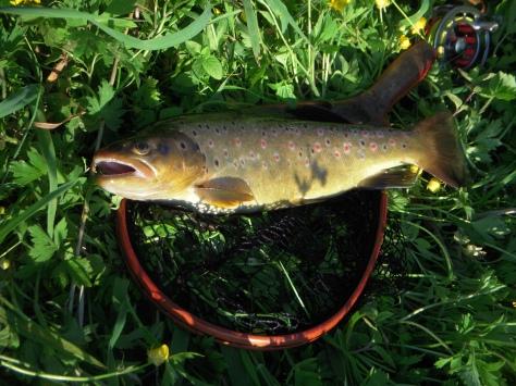 - (Arkivfoto / U.L.-fisk) - denne fisk var også på den sjove side af de 40 centimeter :-)