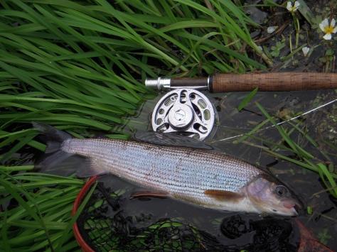 - Denne fisk er fra Kongeåen, og man kan bare håbe at bestanden der også oplever samme fremgang