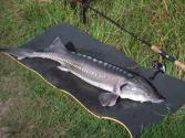 - Fuldfed Beluga fra Loch Nees