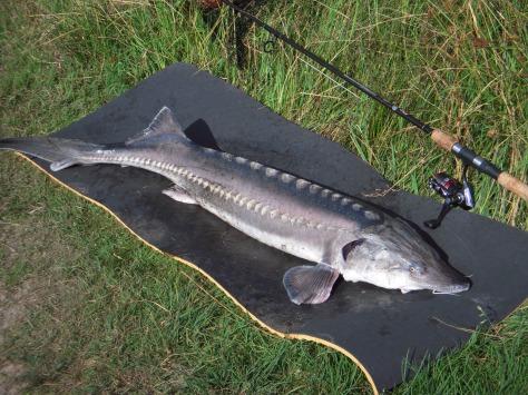 - 10 kilo råstyke på måtten i form af en imponerende Beluga på 128 cm