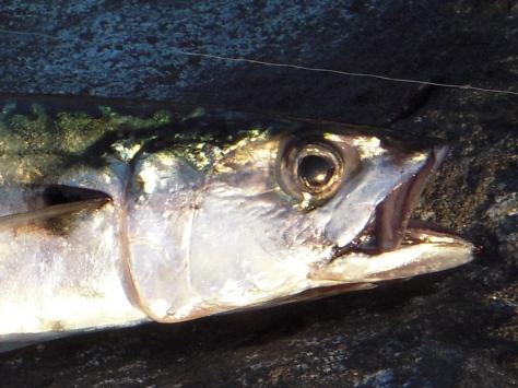 """- Alle makrellerne lå på knapt 40 centimer - de små 30 cm """"tusindbrødre"""" så jeg ikke noget til"""