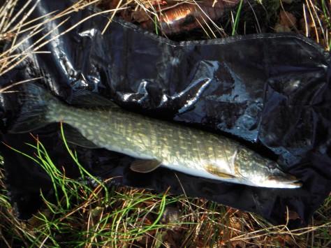 - Typisk slank Engsø-gedde på godt og vel 60 cm