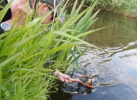- Lækker fisk landes efter et majflueoverfald :-)