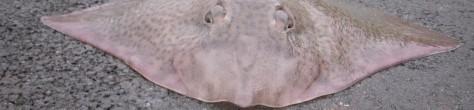 - Usædvanlig U.L.-fangst: Sømrokke (3,1 kilo) taget på 0,7 grams stang!