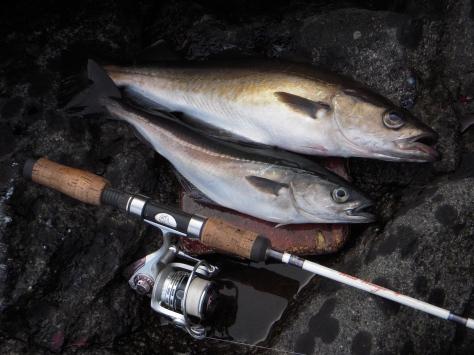 - Færøerne leverede gavmildt en række nye arter til fiske-CV'et :-) (her Lubbe og Sej)