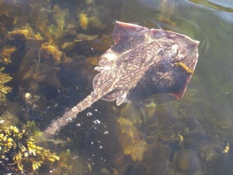 - Her flyver/svømmer den første rokke retur mod havbunden