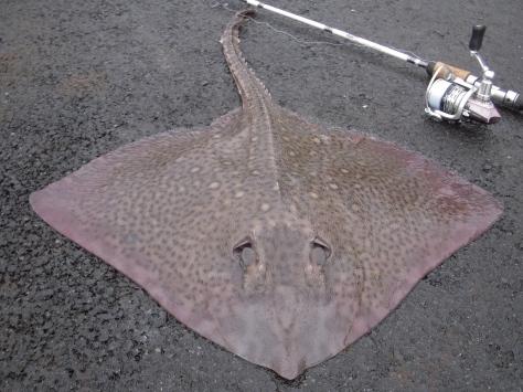 - Sømrokke, 76,0cm. Mærkeligste fisk jeg har fanget