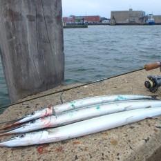 Hornfisk: 74,0cm